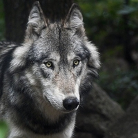 Die Wolfsstellung