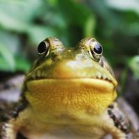 Blasender Frosch