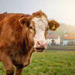 Kühe überraschen